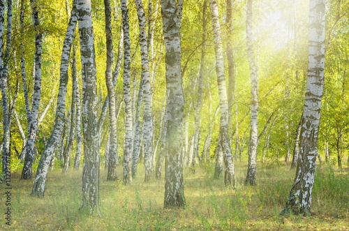 Landscape birch grove. Autumn. The lights of a sun.