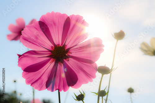 Beautiful pink cosmos flower blooming in garden while sunset.