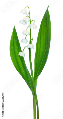 Wall Murals Lily of the valley Convallaria majalis flower