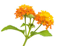 Isolated Lantana Flower Blossoms