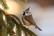 Crested Tit Sitting On Fir Tree