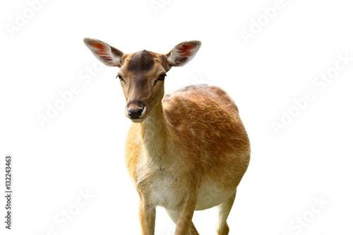 Obraz na plátne  isolated fallow deer hind