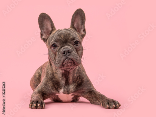 Foto op Plexiglas Franse bulldog Cute french bulldog dog on a pink background