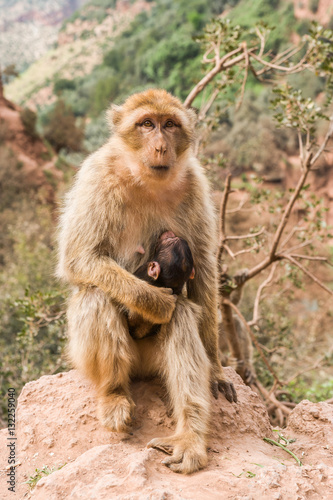 Monkey at Cascades d'Ouzoud, Waterfall at Ouzoud, Morocco