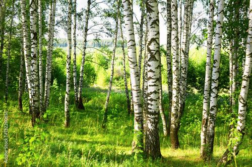 Fototapeten Wald summer in sunny birch forest