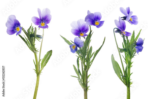 Poster de jardin Pansies lilac pansy flowers collection isolated on white