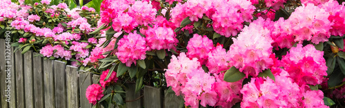 Pink hydrangeas and azaleas blooming along a wooden fence. Banner