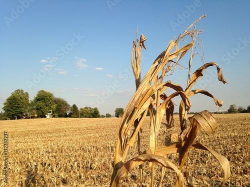 Dry cornstalk in harvested corn field Tapéta, Fotótapéta