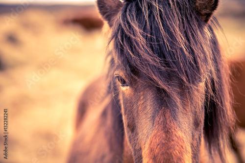 Islandzki koń zbliżenie