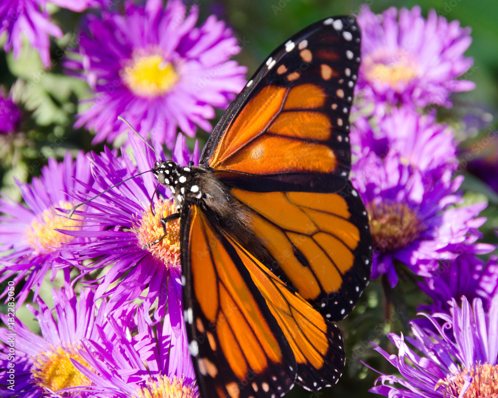 Monarch Butterfly on Purple Aster Flowers in Late Summer, Minnesota, USA