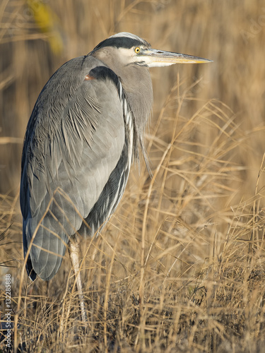 Αφίσα  Great Blue Heron