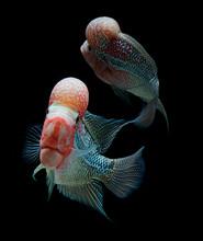 Red Flowerhorn Crossbreed Cichlid Pet Fish Bigkok Over Black Background