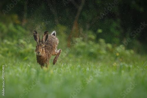 Fotografía hare is running in the beautiful light on green grassland,european wildlife, wil