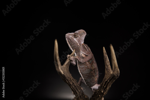 Poster Chamaleon Kameleon na porożu