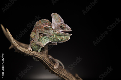 Foto auf Gartenposter Chamaleon Kameleon na porożu