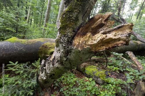 Spoed Fotobehang Onweer primeval forest Stužica, Slovakia