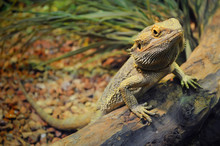 One Young Bearded Dragon In A ...