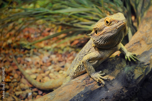 Fototapeta premium Jeden młody brodaty smok w terrarium, oparty o kłodę i patrząc w kamerę z pogardą