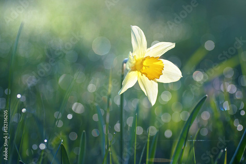 Beautiful big white narcissus flower in the grass in the sun shines in the morning in the spring summer outdoors. Beautiful circular bokeh, morning dew sparkles in the sun. Blurry soft background.