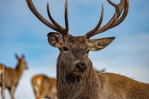 Aluminium Prints Deer male red Deer portrait looking at you