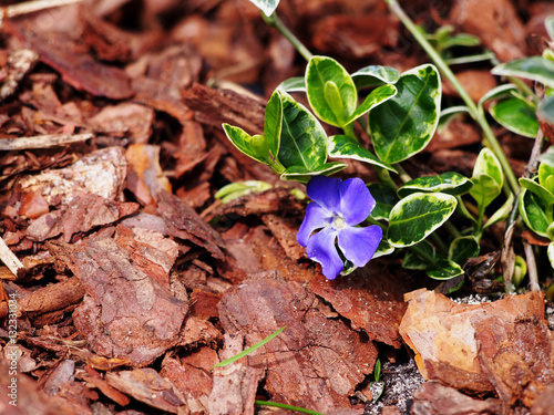 Photo  Vinca minor 'Ralph Schubert' - lesser periwinkle, dwarf periwinkle