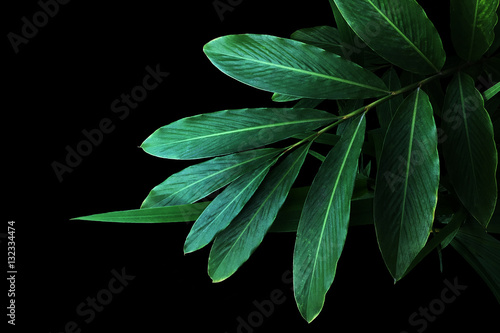Poster Vegetal Green leaves of red ginger (Alpinia purpurata), tropical forest