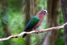 Emerald Dove In Background Picture