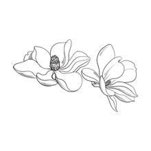 Two Magnolia Flowers, Sketch S...