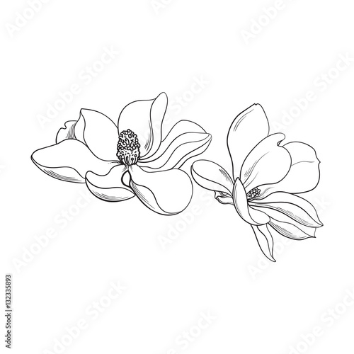 Photo  Two magnolia flowers, sketch style vector illustration isolated on white background