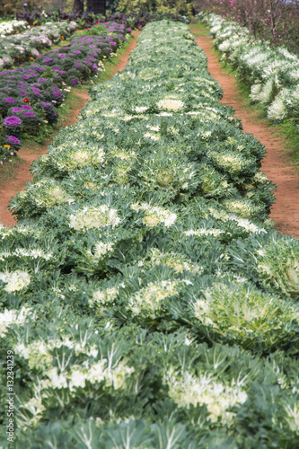Montage in der Fensternische Pistazie White Ornamental Cabbage plants in flower pot at Doi Angkhang ro
