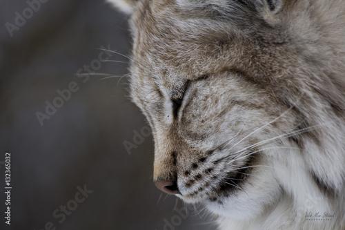 Foto auf Leinwand Luchs Norwegian Lynx