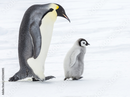 Tuinposter Pinguin Emperor Penguins on the frozen Weddell sea, Antarctica