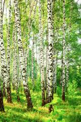 Panel Szklany Podświetlane Wschód / zachód słońca summer in sunny birch forest