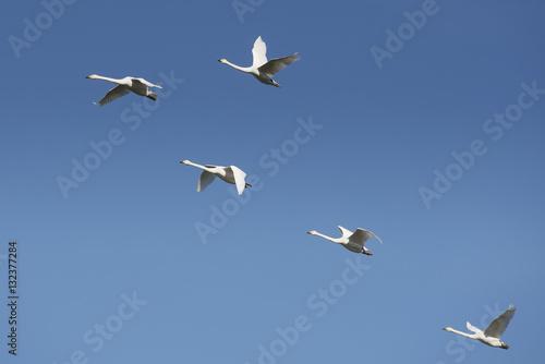 Finnish national bird flying high