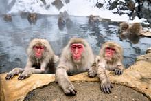 Eine Gruppe Japanmakaken Beim ...