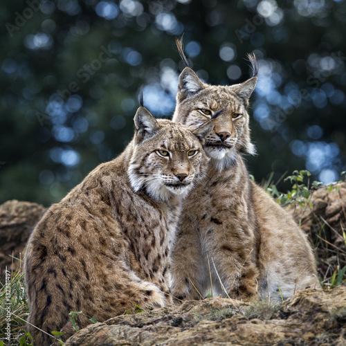 Foto auf Leinwand Luchs Cats in love