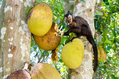 Fotografía  Capuchin monkey eating a Jaca fruit