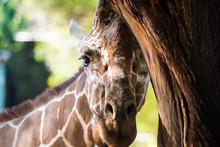 Giraffe Portrait Peeking From Behind Tree