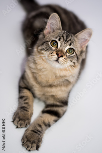 Fototapeta Portrait of Tabby Kitten Posing Looking Lying  obraz na płótnie