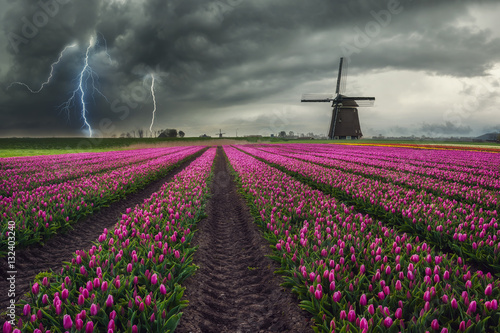 Fotografering  Traditional Dutch Field of Tulips