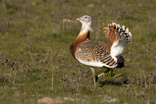 Male Of Great Bustard In Matin...