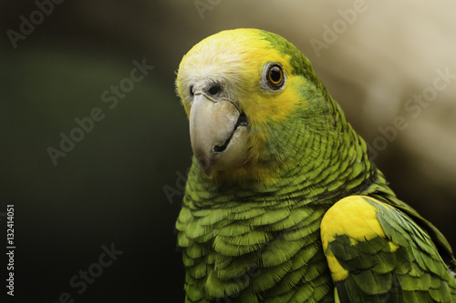 Photo Stands Parrot Panama amazone
