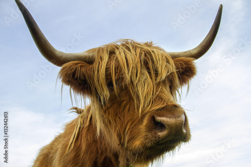 Fototapety, obrazy: Highland Cow in the Scottish Highlands