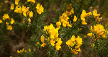 Yellow Gorse Blooming Flowers In Scottish Spring.