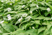 Wild Garlic Flowers / White Fl...