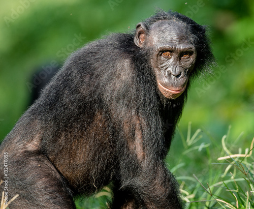 In de dag Close up Portrait of Bonobo in natural habitat. Green natural background. The Bonobo ( Pan paniscus). Democratic Republic of Congo. Africa