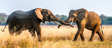 Fighting African Elephants In ...
