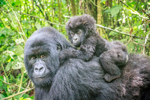 Baby Mountain Gorilla On The B...