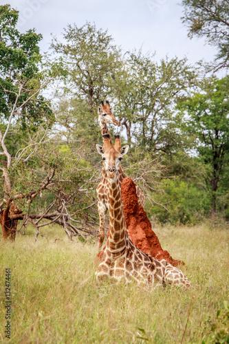 Photo  Giraffe laying down.