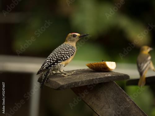 Hoffman's Woodpecker Canvas-taulu